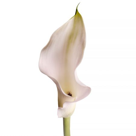 Bouquet Calla white piece