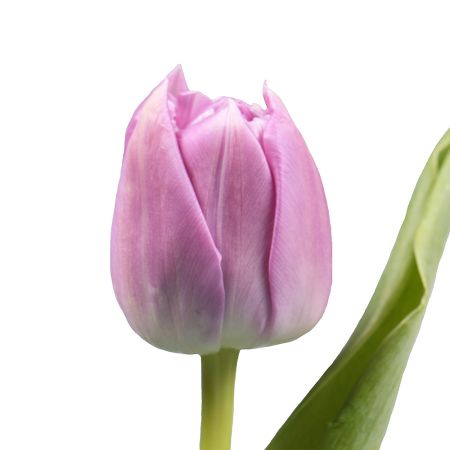 Bouquet Pion-shaped tulip by the piece