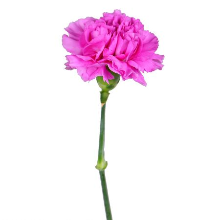 Order pink carnations by the piece at on-line flower shop